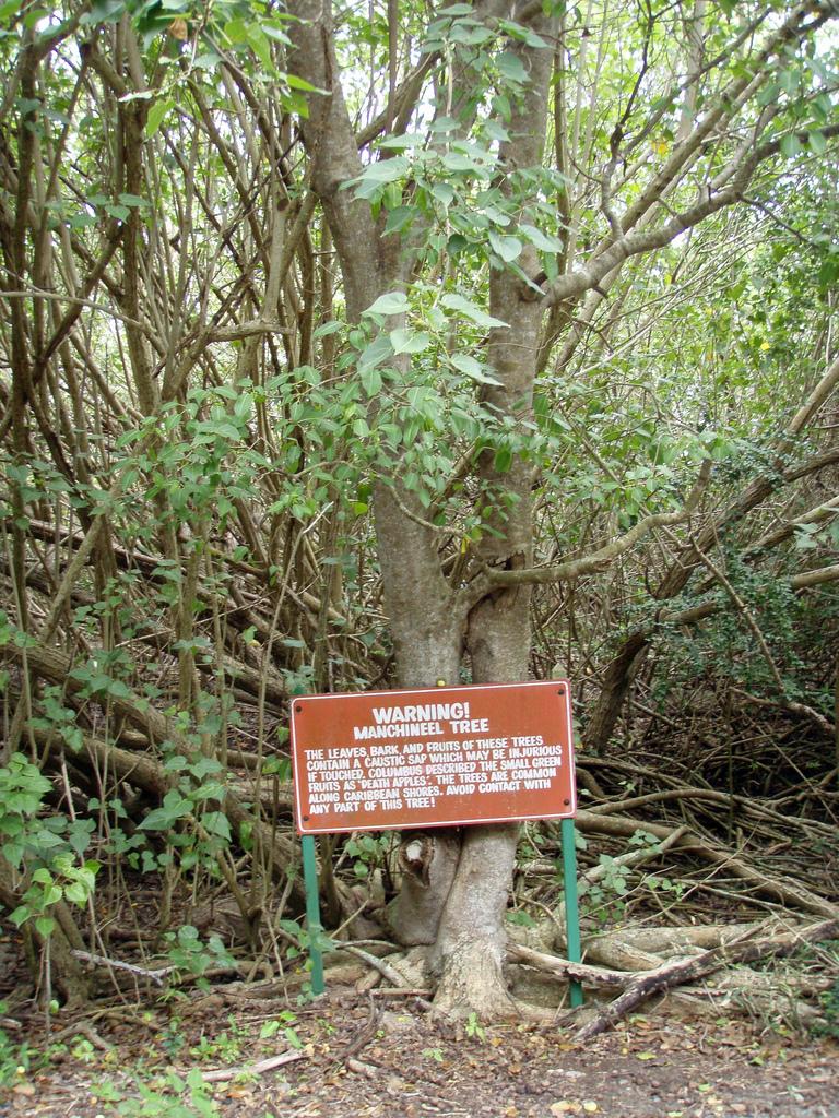 Pohon beracun Machineel