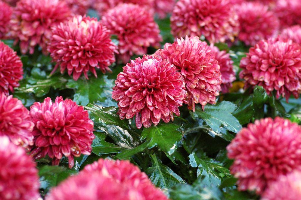 Taman Rumah Makin Cantik dengan 5 Jenis Bunga Krisan Ini!