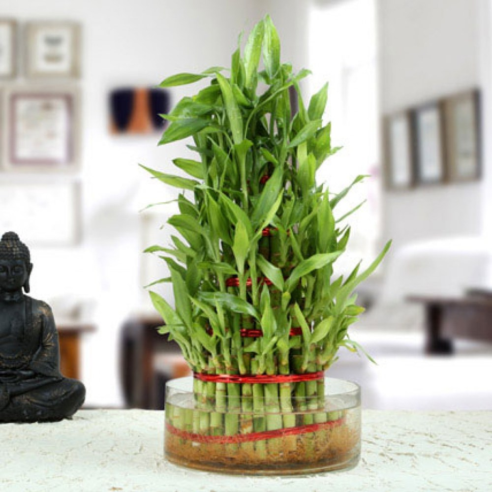 Feng Shui dari Tanaman Bambu Rejeki