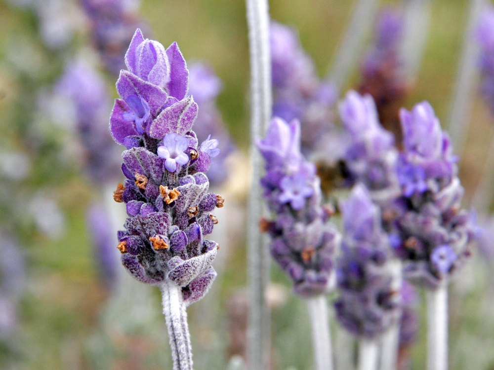 Bunga Hias Lavender