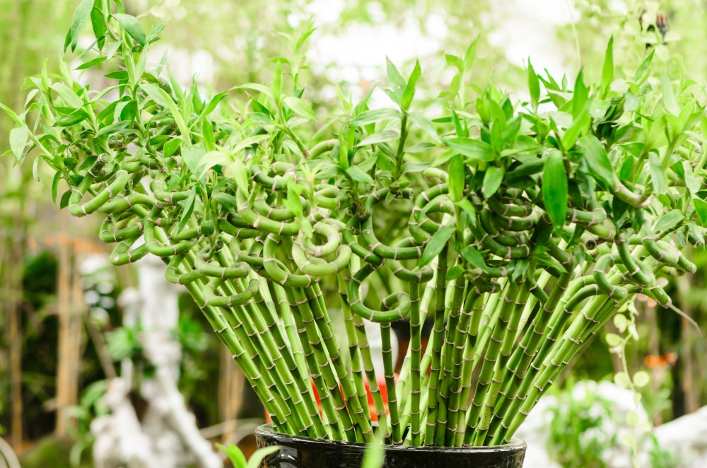 Bunga Hias Bambu Hoki atau Lucky Bamboo