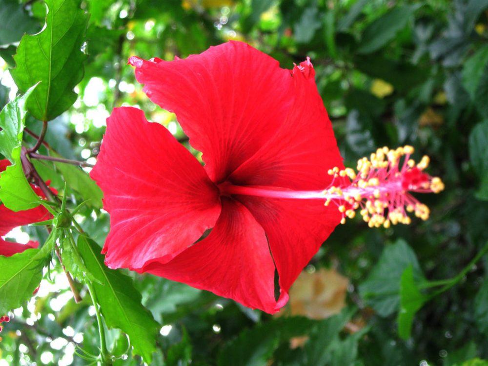 Bunga Sepatu Si Cantik Yang Punya Sejuta Manfaat