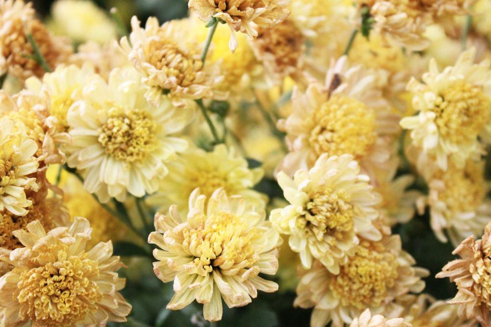 Bunga Hias Seruni atau Chrysanthemum