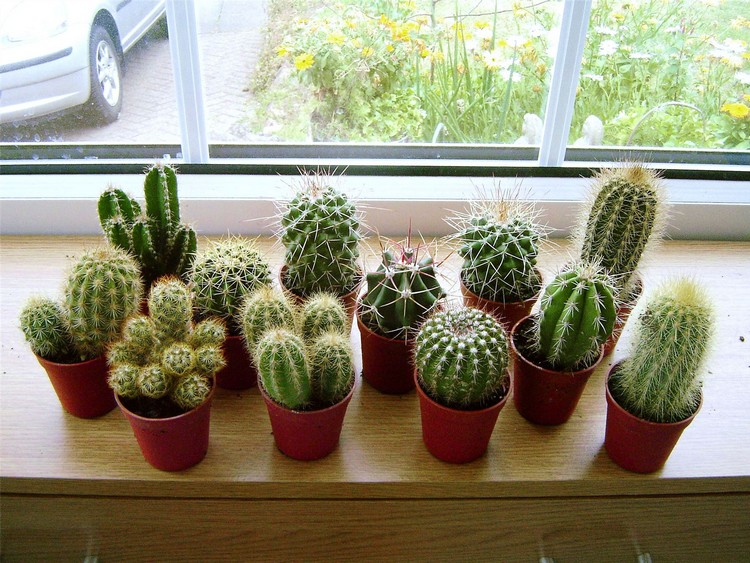 Tanaman dalam ruangan kaktus