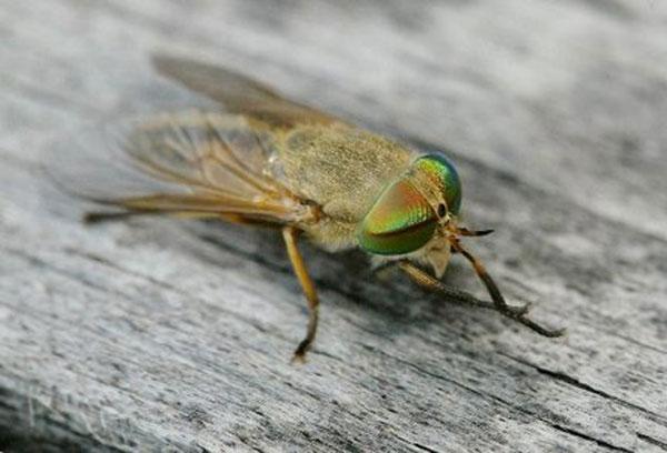 greenheadfly