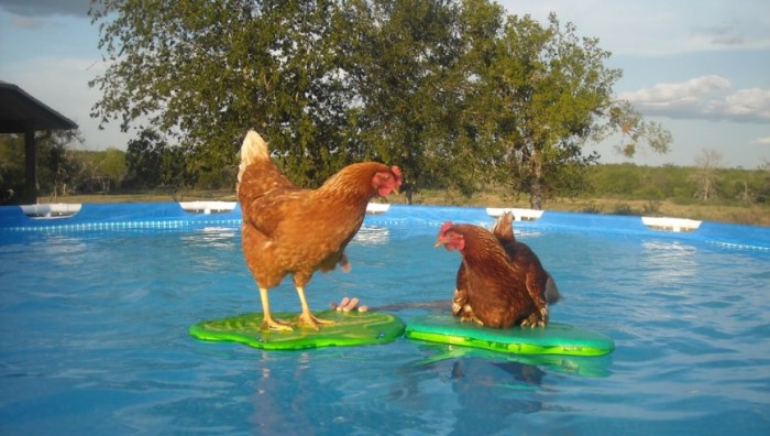 Chickens in the pool