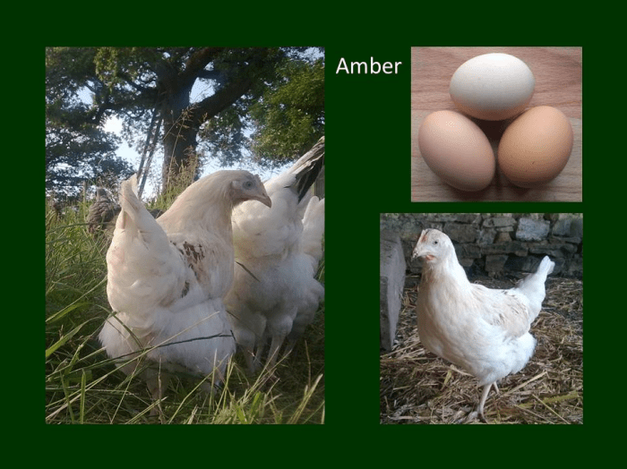 amberlink chicken eggs