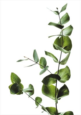 Poster eucalyptus plant witte achtergrond