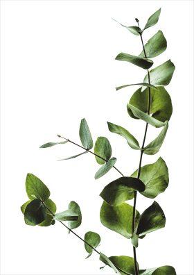 Poster eucalyptus plant witte achtergrond