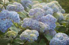 "Facing NW exposure, these Nikko Blue hydrangea blooms are quite large, but more pale. Starting out lime green, each bloom has a combined flower of two to three blooms. I have it in my mind that these may be ""Kluis Superba"""