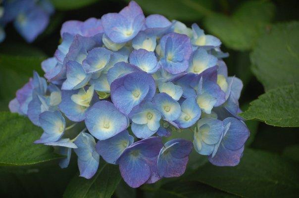 Close up hydrangea macrophylla