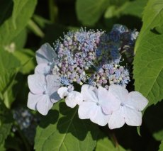 Lace cap Hydrangea This variety changes color thro