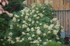 My first oakleaf hydrangea, a fast grower!