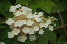Oak leaf Hydrangea in full bloom