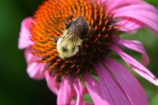 Bumblebee on purple coneflower