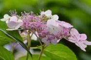 pink lacecap hydrangea