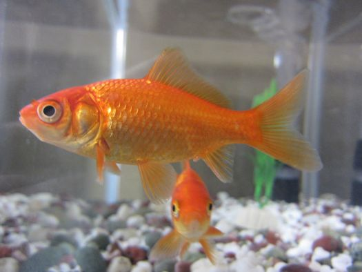 Humans have the attention span that less than a Goldfish.