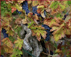 Old Vines Zinfandel