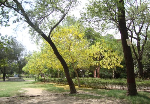 Yellow Bliss in the Greens of Delhi