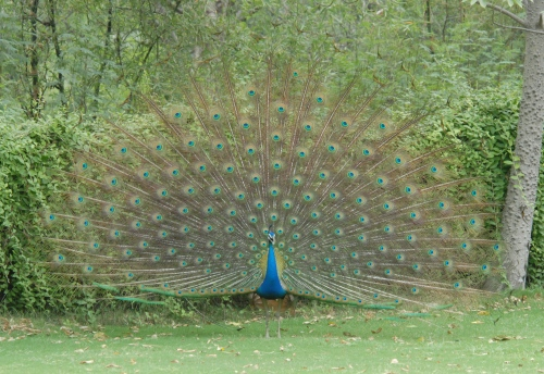 A Peacock Welcome Dance for the Rain Gods!