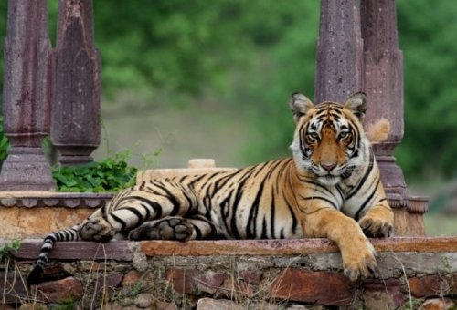Stars for the Star: Tiger Conservation Through Celebrities
