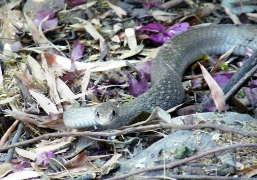 Snake in the City: During the North Delhi (Ridge) Urban Ecotour