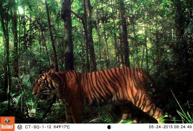 sumatran-tiger-in-camera-trap