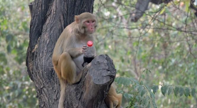 To Beat the Heat, A Monkey Grabs Cola Bottle In Delhi Ridge