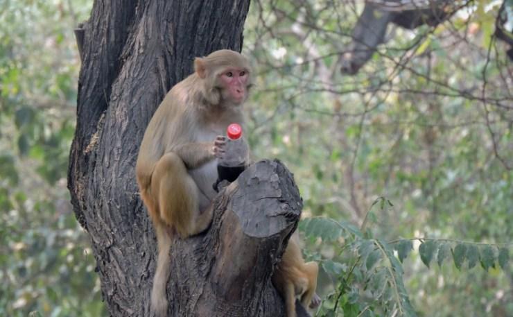 monkey-drinking-cola-drink-in-delhi-heat-in-ridge