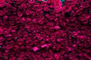 A whole sack full of roses for sale in flower market