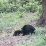 Bears eating a deer