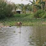 Kumarakom ducks