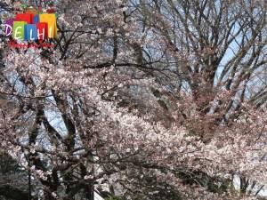 Shinjuku Goyen Cherry blossoms