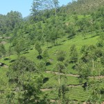 Tea plantations in Munnar 2