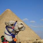 Great pyramind of Giza behind a camel