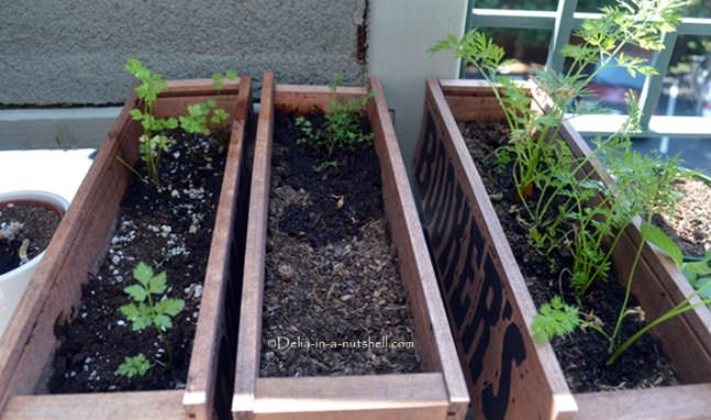 Gradually planting my seeds so I can have fresh herbs for longer