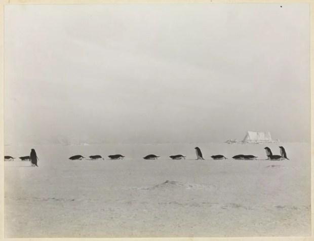 L'équipe sauvage vers l'infinité du désert antarctique, mais en file indienne. Photo: George Levick, 1911