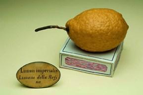 Limon imperialis © Museo di Storia Naturale, sezione di Botanica, Università degli Studi di Firenze - Photo Saulo Bambi