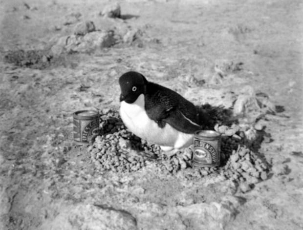 Photo Herbert Ponting (1911) - Manchot Adélie dans son nid et conserve de Golden Syrop (Expédition Terra Nova)