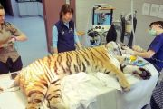 XXI. Pathologie du tigre