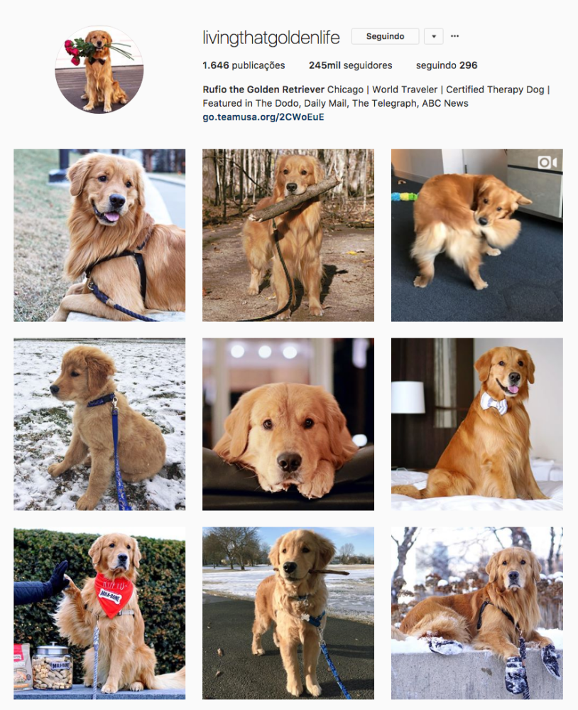 Cachorros para seguir no Instagram: living that golden life. Por Delicia de Blog.