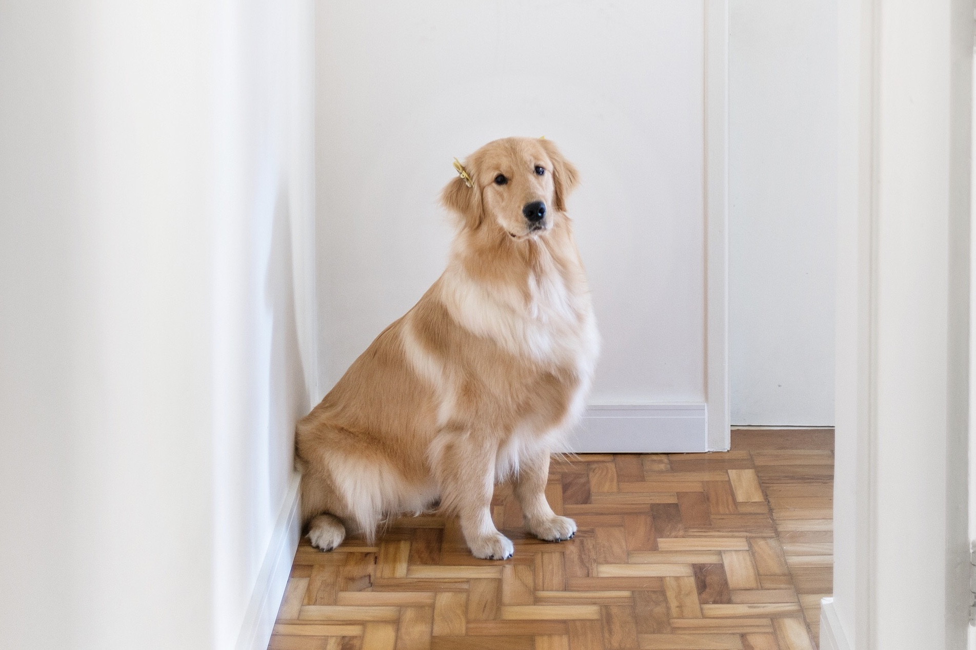 Como é criar um golden em um apartamento