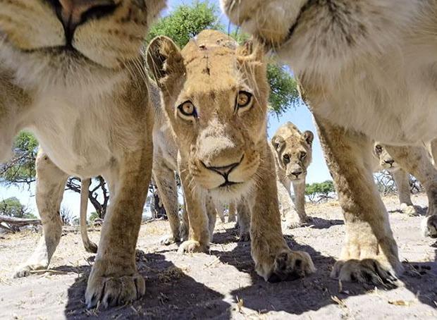 Leões brincam com câmera em Botswana