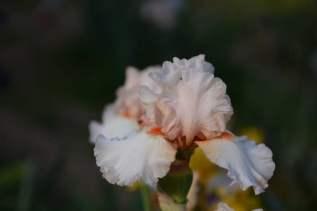 Florence Iris Garden_287