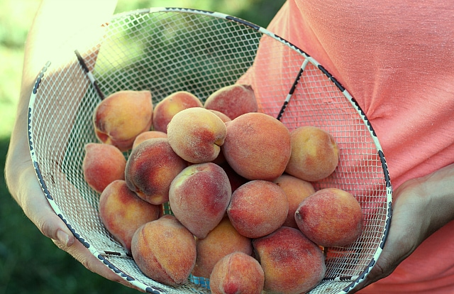 peaches for sangria recipes