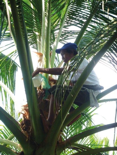 Kokosbluetensaft-Ernte_rgb