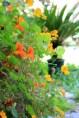 insalata di fiori di nasturzio - 9