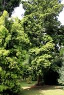 podocarpus neriifolius 2