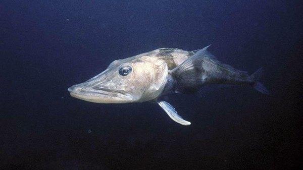 Ледяная рыба: описание с фото, где обитает, чем питается ...