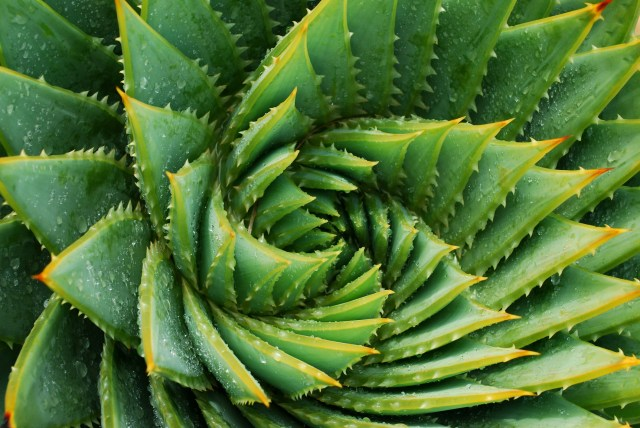 aloe vera as a home remedy for tooth infection